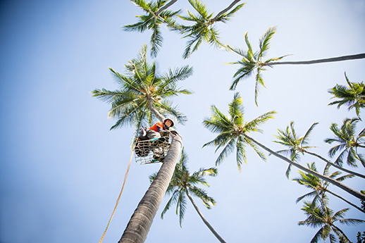 FLYING 'OKOLE marketing commercial photography of spikeless palm climber for Pure Life Palm and Tree Care on the Branding, Websites & Marketing Our Work page.