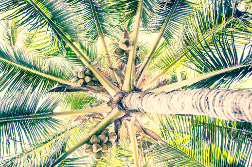 FLYING 'OKOLE marketing commercial photography of coconut palm for Pure Life Palm and Tree Care on the Branding, Websites & Marketing Our Work page.